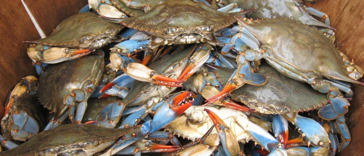 blue crabs in barrel