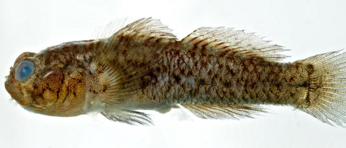Isthmian goby fish