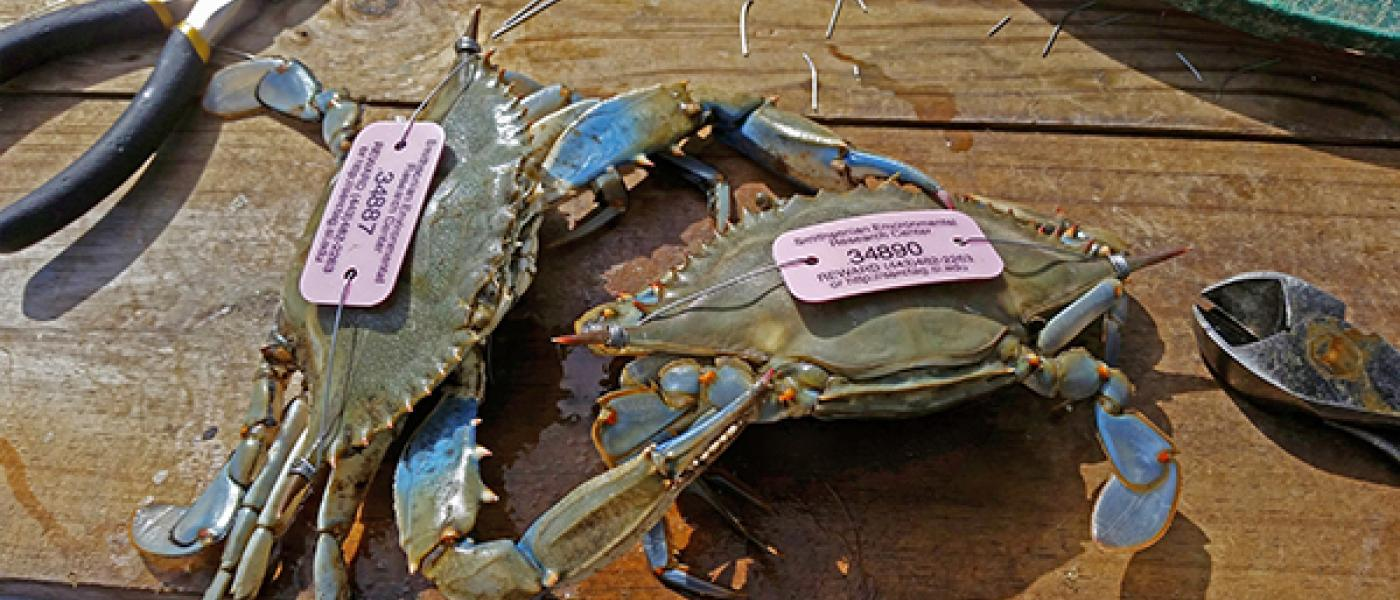 Tagging blue crabs in Chesapeake Bay