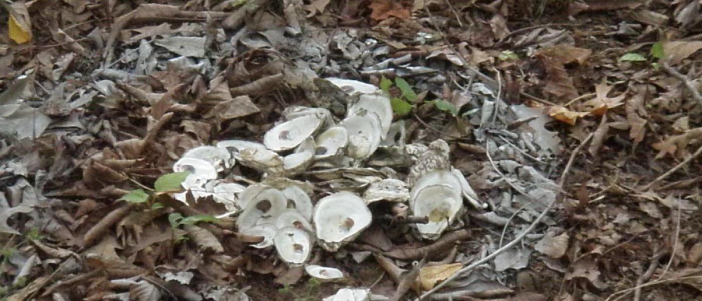 oyster shells in soil
