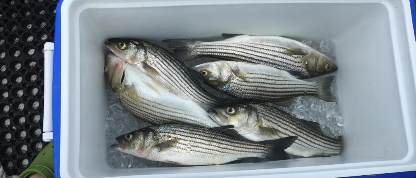 Striped bass in cooler