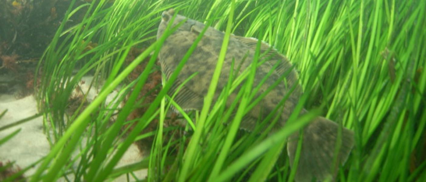 Flounder in eelgrass (NOAA)