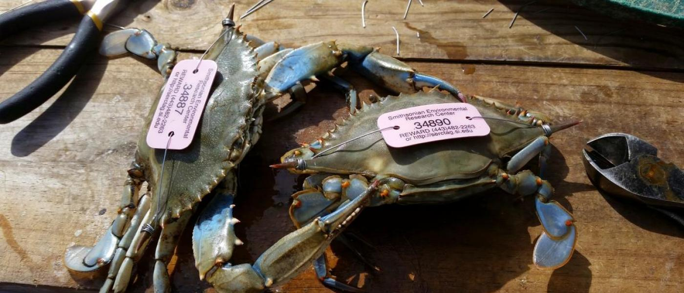 Two blue crabs on wooden table with pink tags