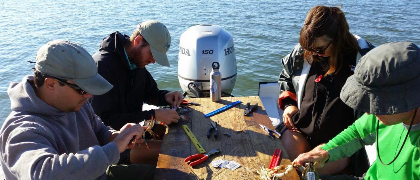Four scientists on a boat putting tags on blue crabs