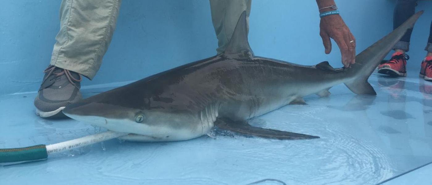 Gray shark on deck with hose in its mouth