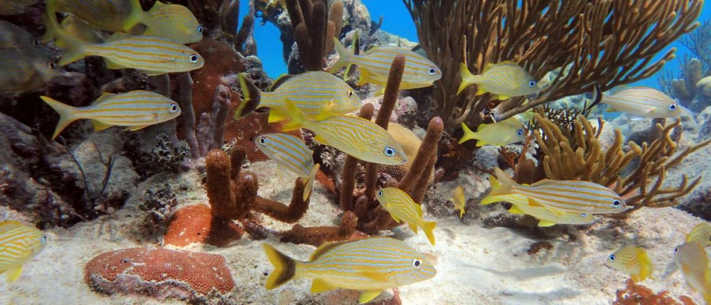 Yellow fish swimming through reef in Belize