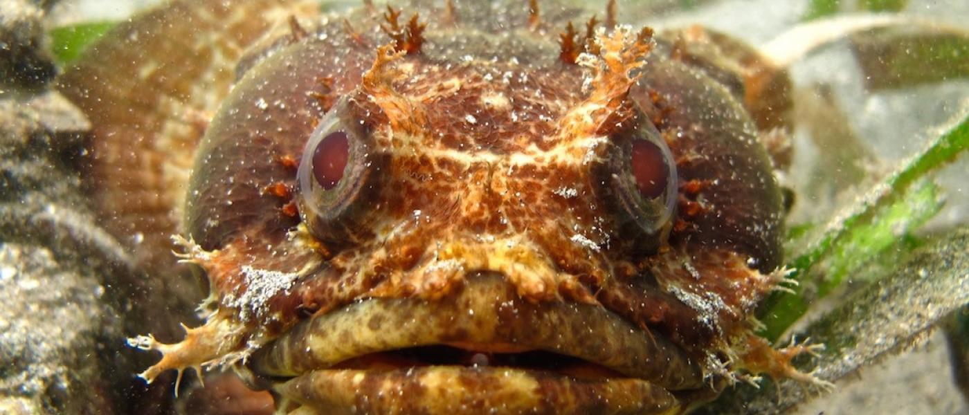 Close-up of face of brown and orange toadfish