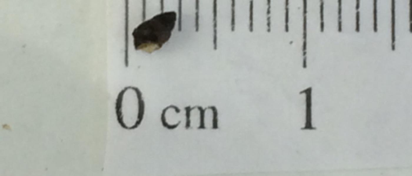 A hydrobid snail