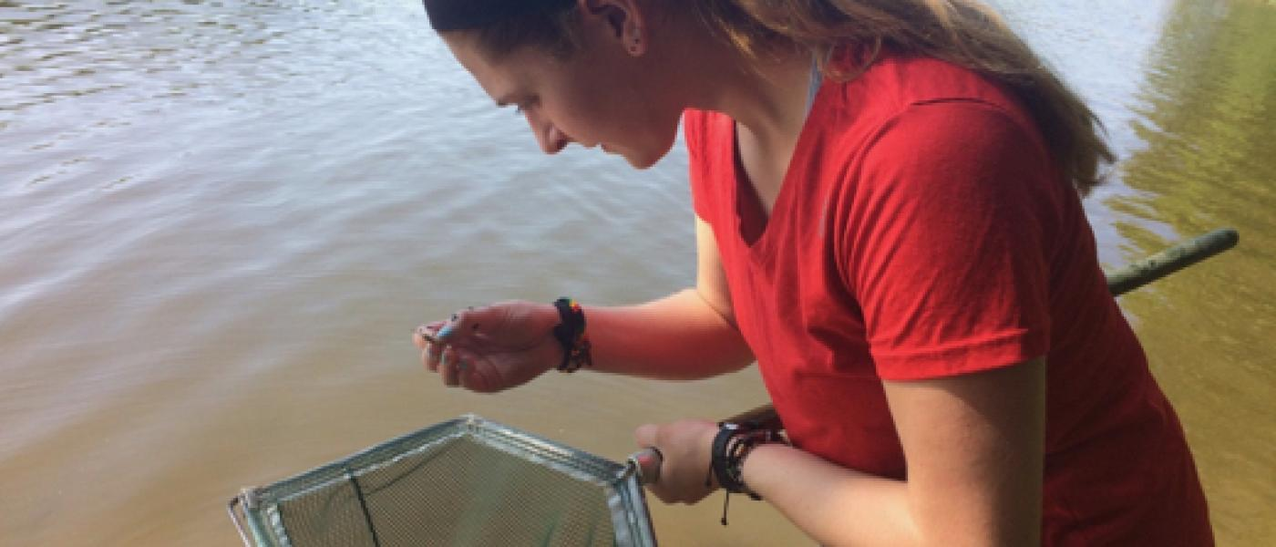 Intern looking for parasitized shrimp