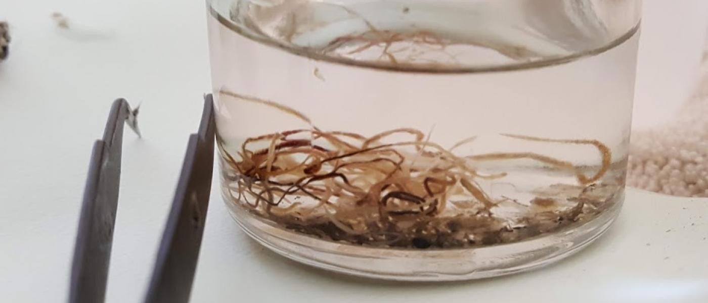 Parasitic worms from river otter