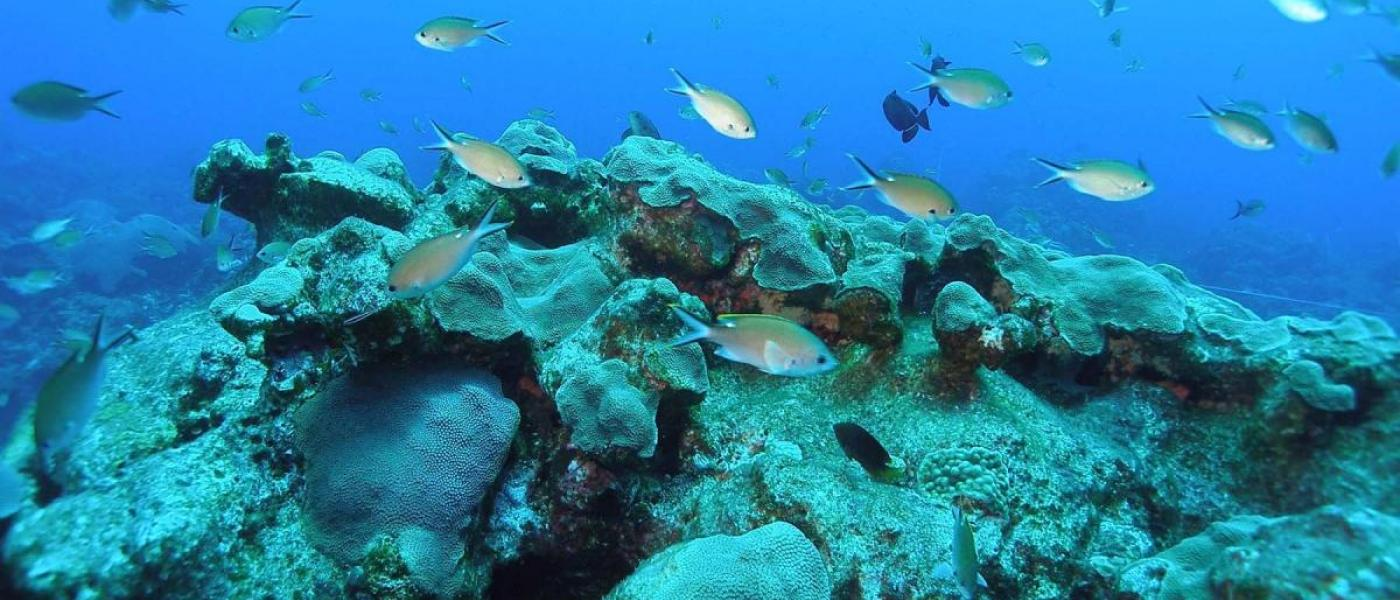 Chromis fish swimming over a reef