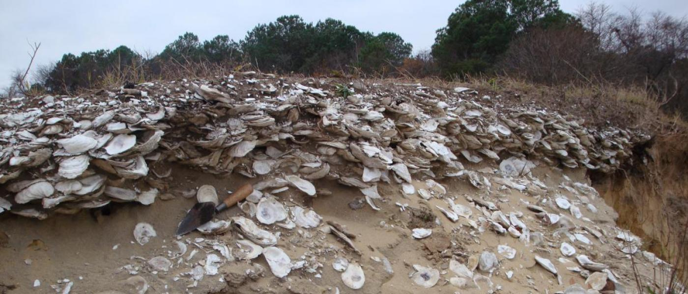 1000-year-old Native American deposit of oysters on soil