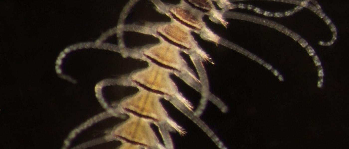 Amblyosyllis speciosa
