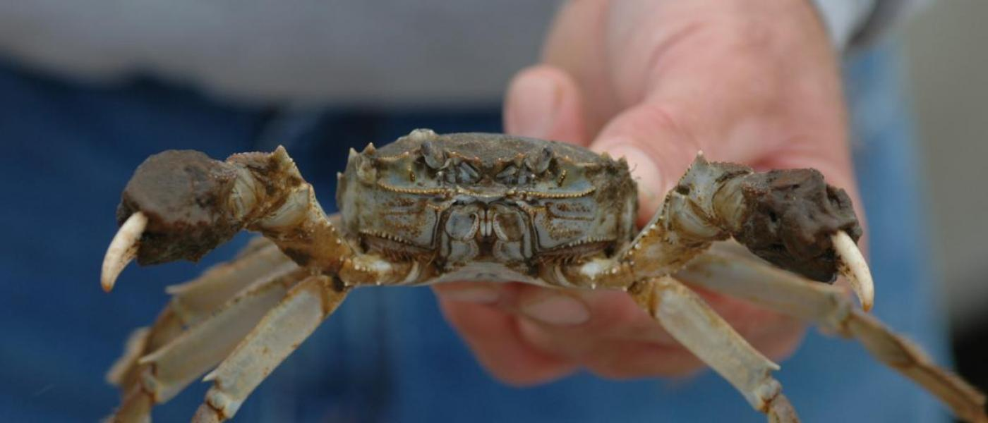 Chinese mitten crab held in scientist's outstretched hand