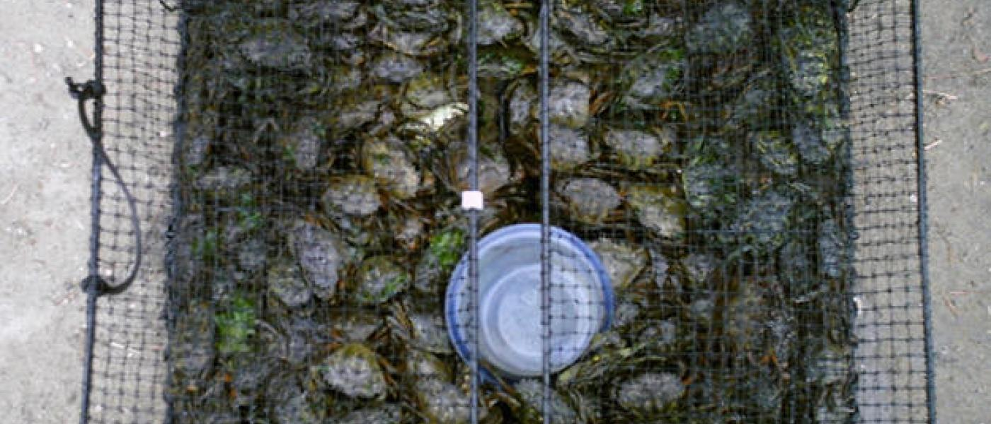 hundreds of Green Crabs in a trap