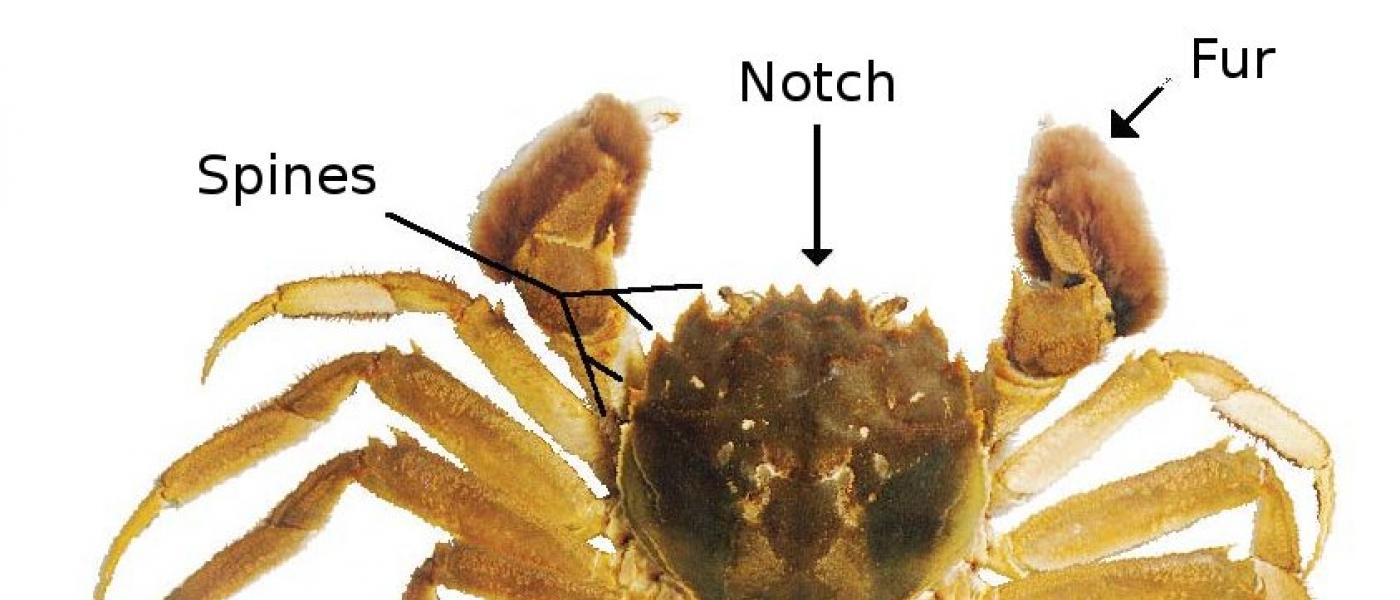 Key features of the mitten crab