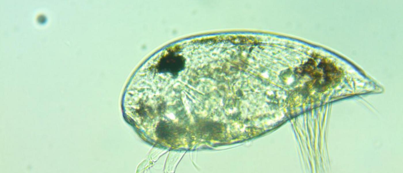 Loxo parasite