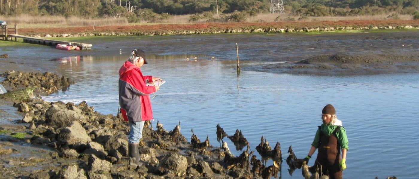 Two scientists examine oyster experiment on beach