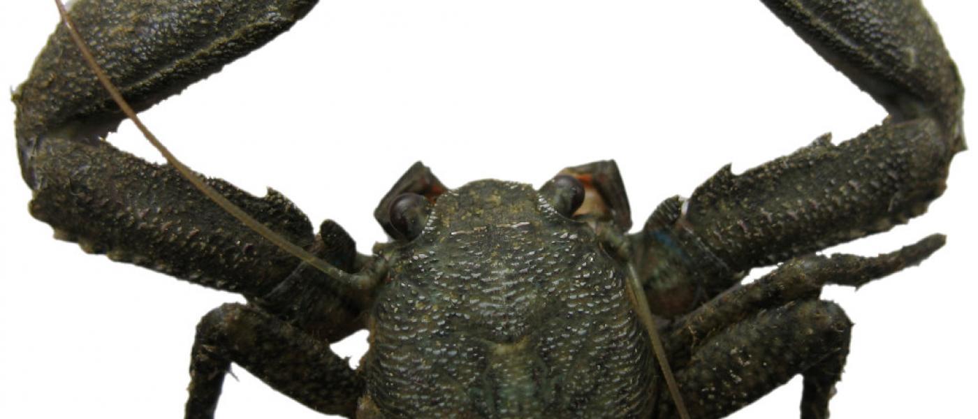 Green Porcelain Crab, Petrolisthes armatus