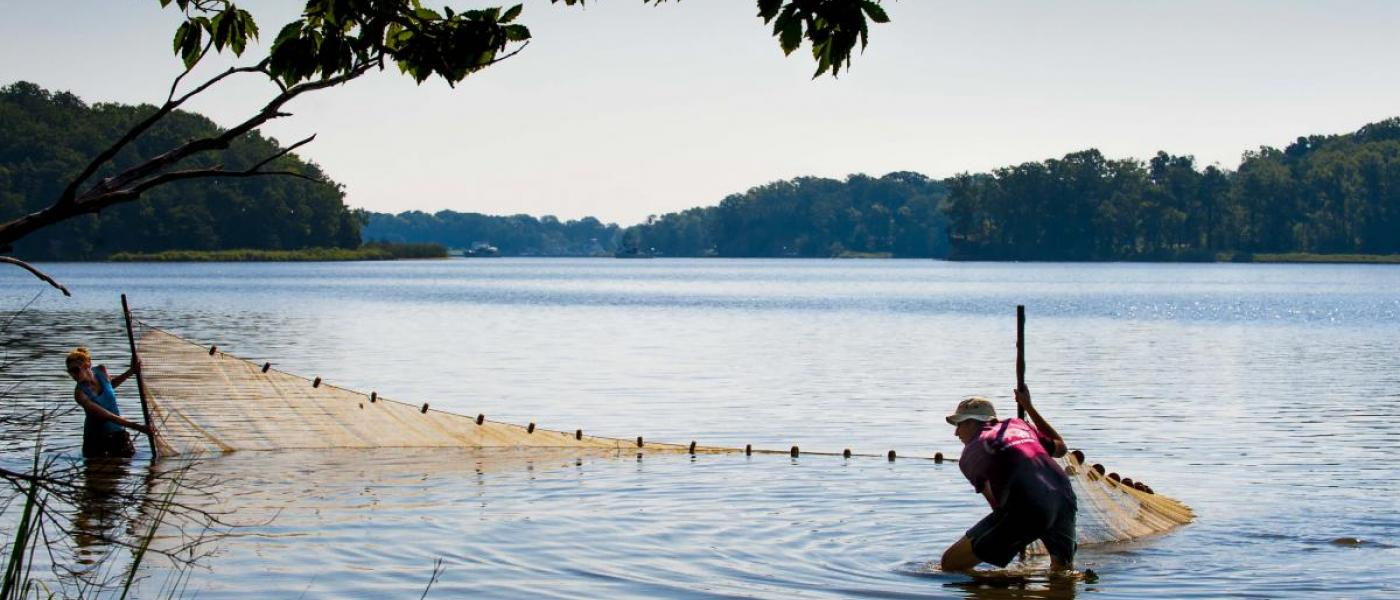Seining at Fox Point in the Rhode River