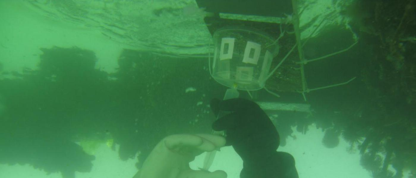 underwater dosing experiment conducted with larval Botrylloides violaceus