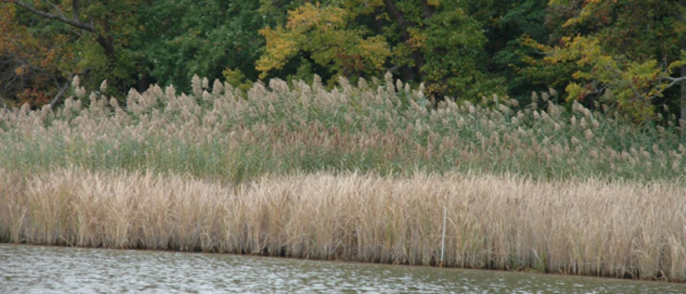 Phragmites along a creek