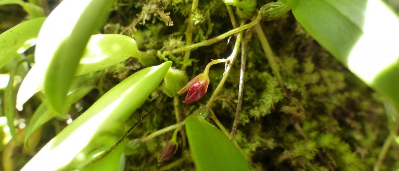 A close-up image of Bulbophyllum membranceum.