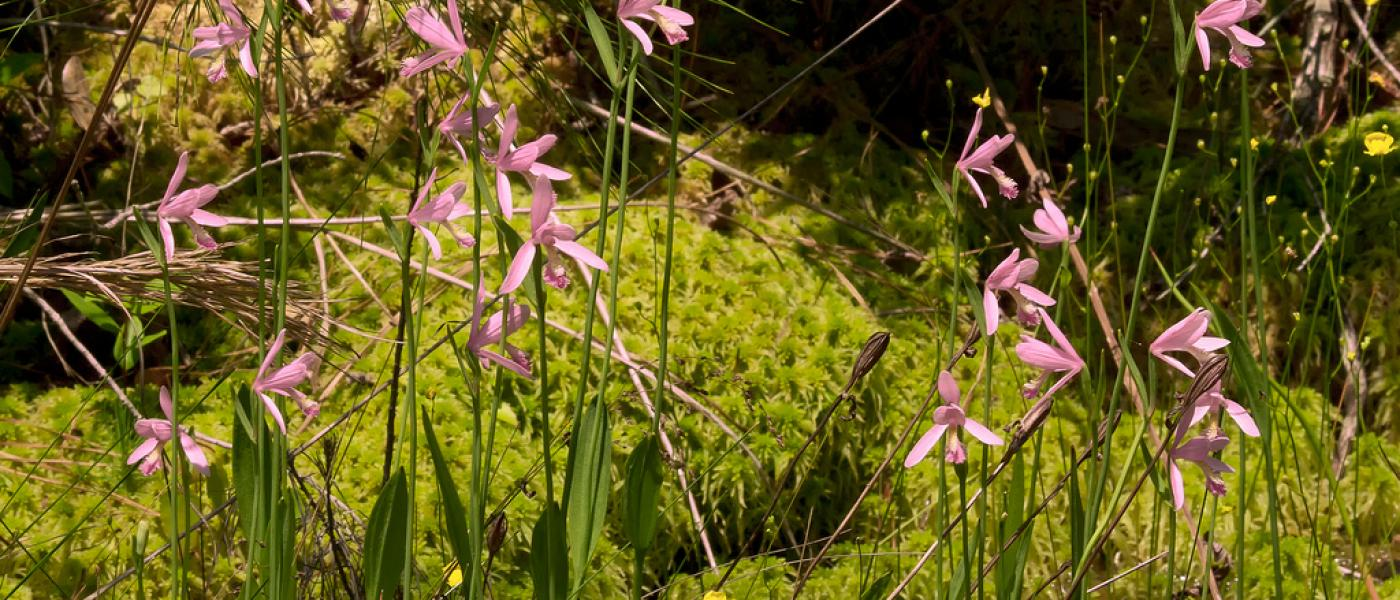 Rose pogonia orchid