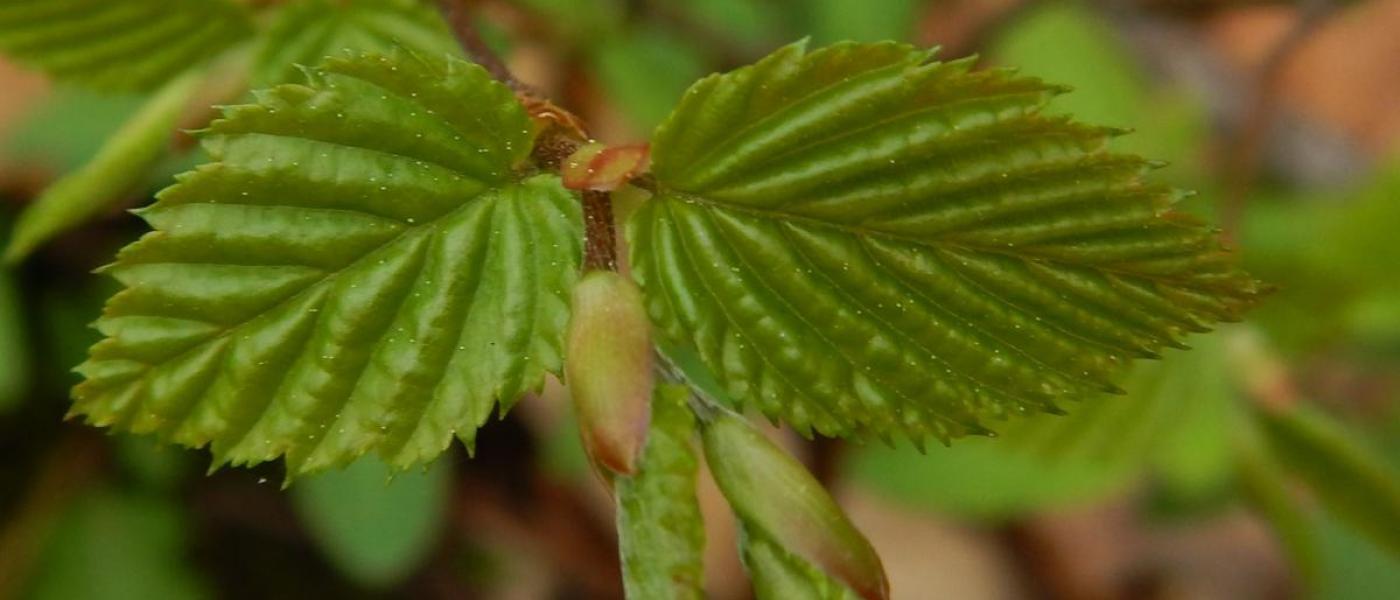 Newly opened American hornbeam leaves