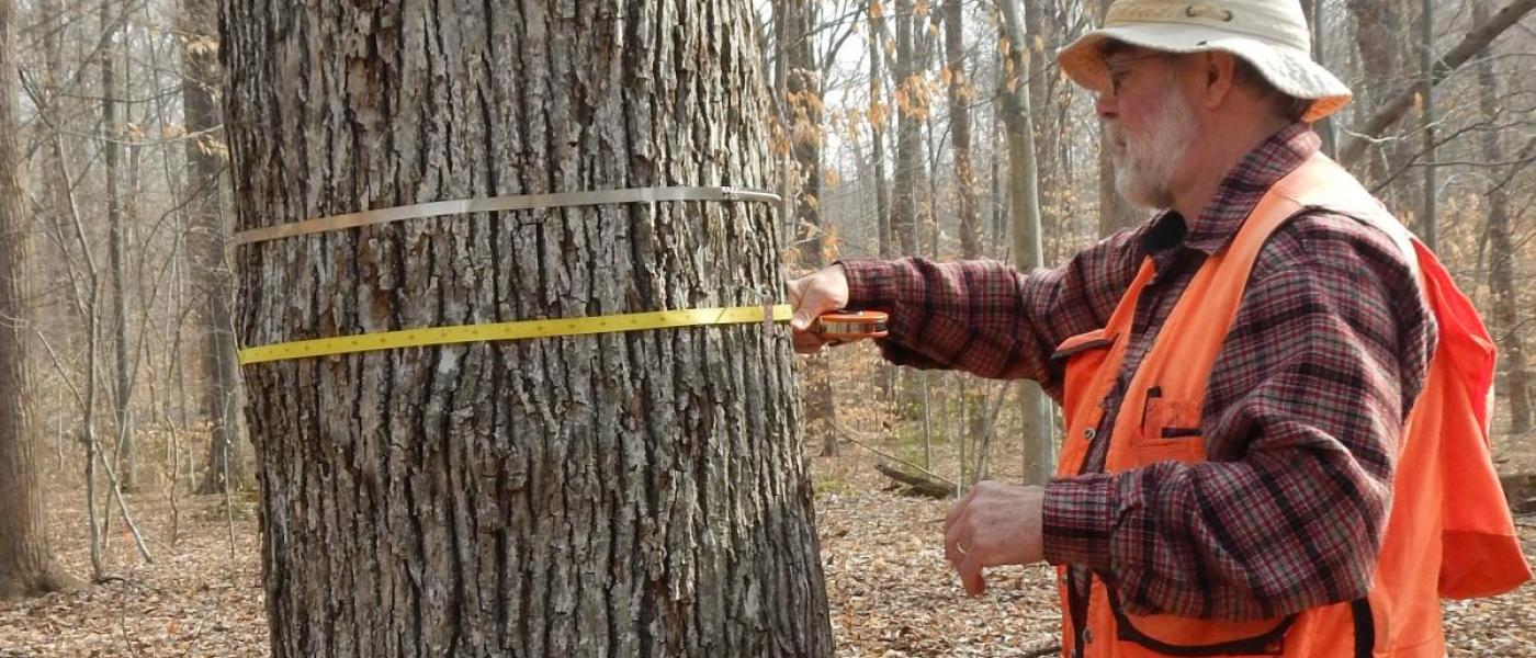 A volunteer using a dendrometer tape to measure a hickory tree