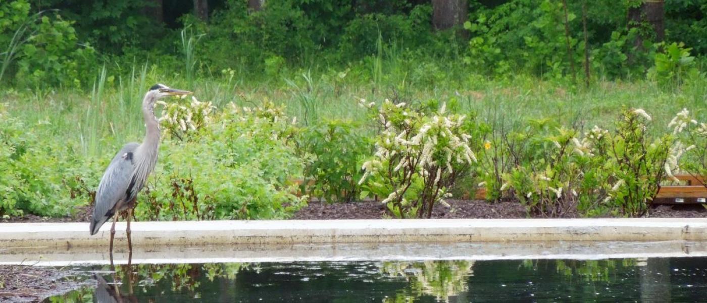 blue heron standing in wetland pool