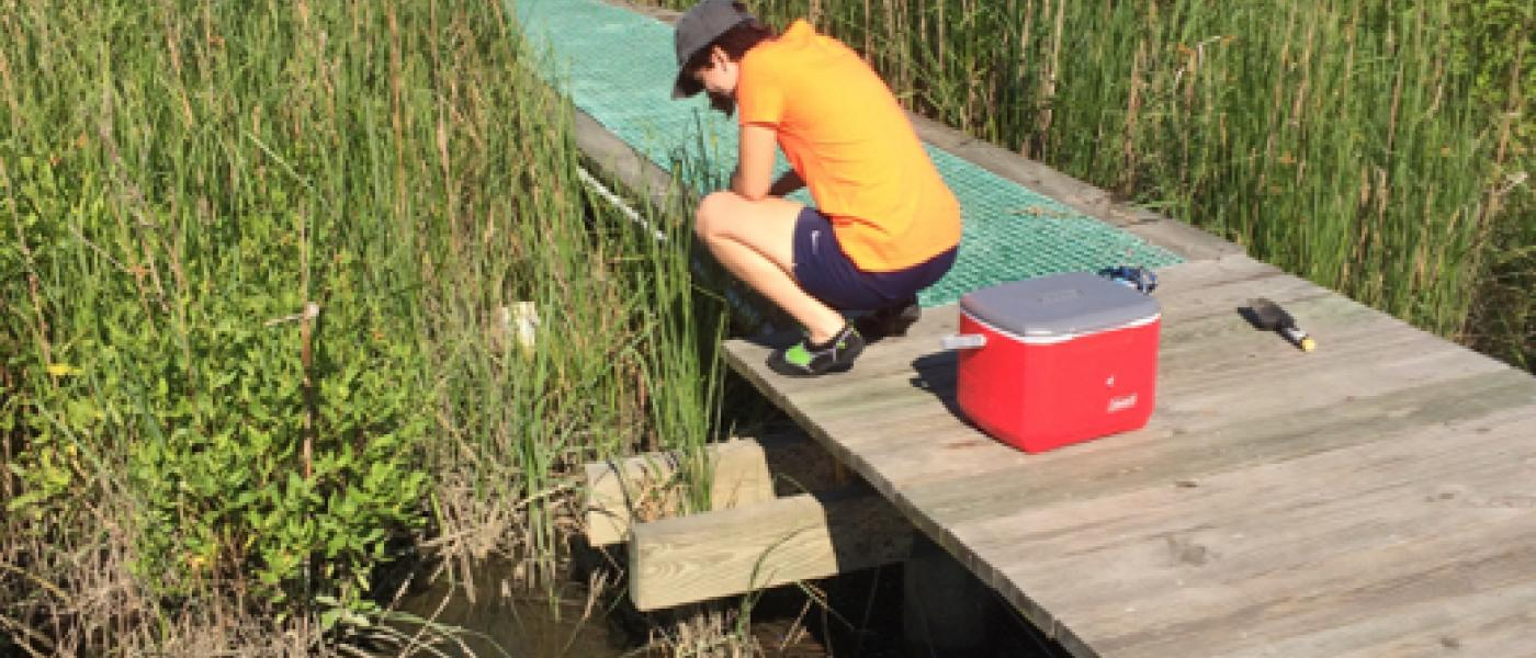 Intern looking for snails in a marsh