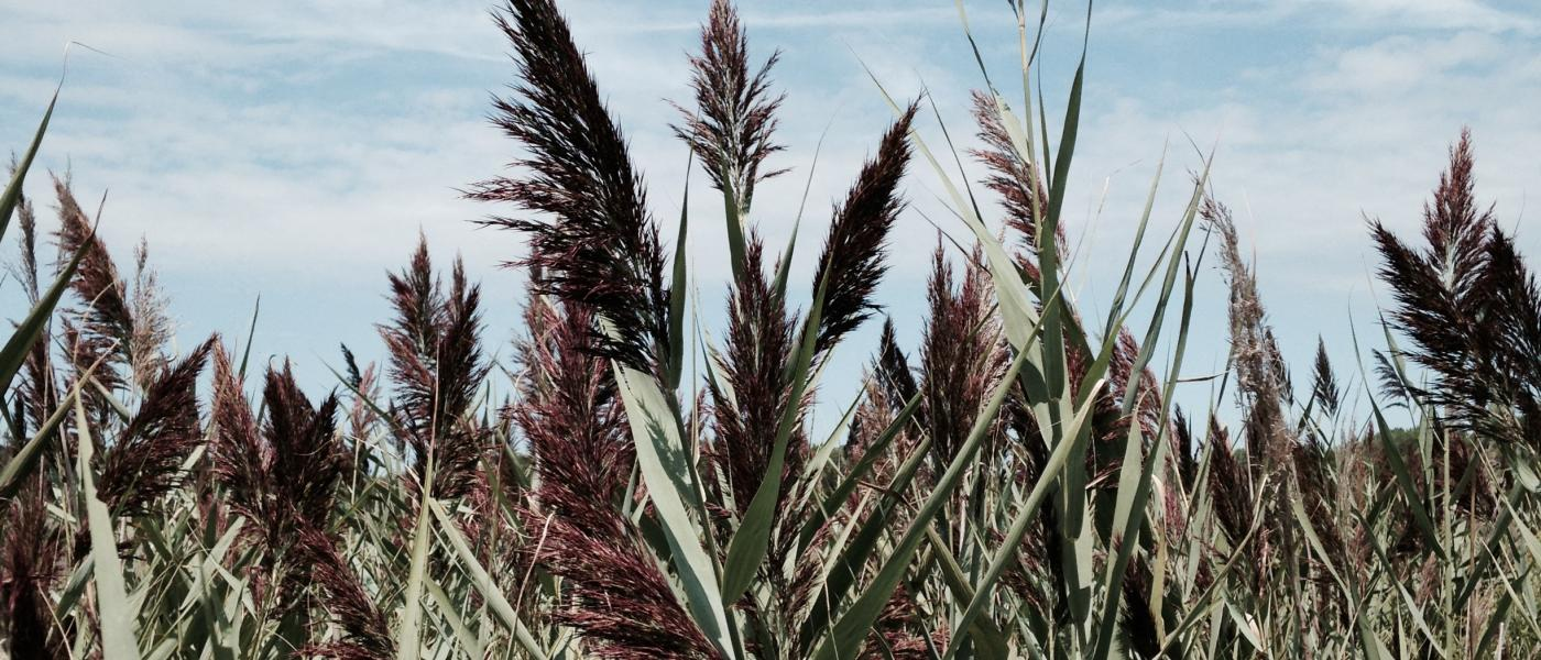 Invasive Phragmites in a marsh