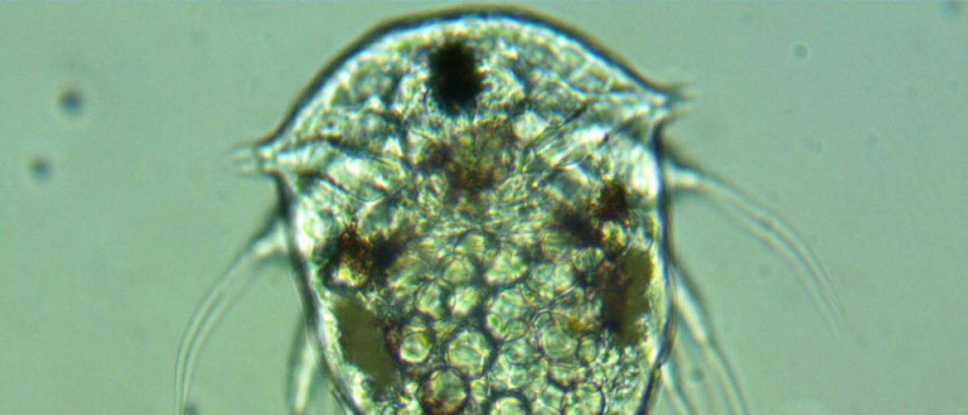 Larval barnacle parasite