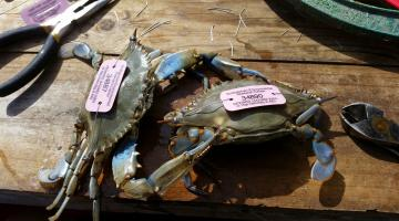 Pink tagged blue crabs