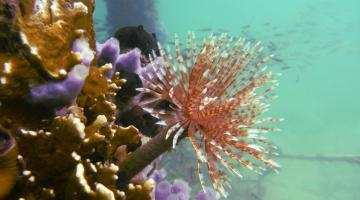 Sabellid tube worm in Bocas del Toro, Panama