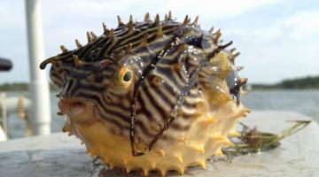 Striped Burrfish collected for Chesapeake Bay Barcode Initiative