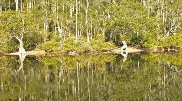 mangroves, New South Wales
