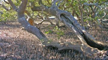 mangrove, Clyde River, NSW