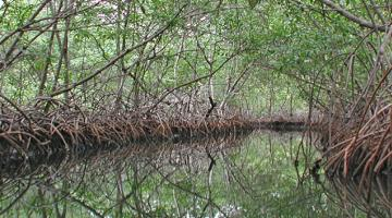 mangrove, Panama