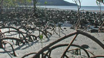 mangrove Cape Tribulation beach