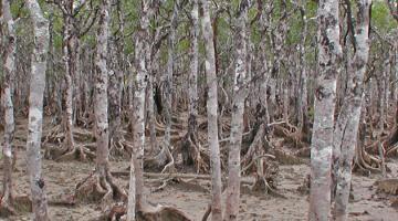 mangrove, Ceriops, Australia