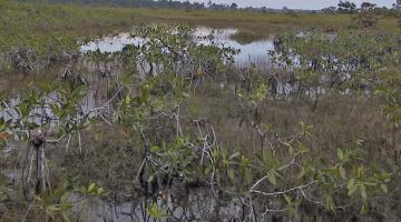 mangrove Rhizophora Belize