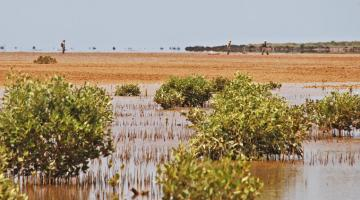 mangrove, Giralia, Western Australia
