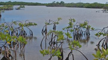 mangrove, Twin Cays, Belize