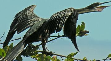 mangrove, cormorant
