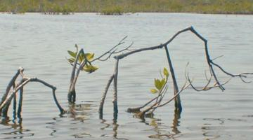 mangrove, dwarf tree, Belize
