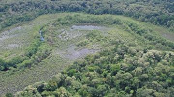 mangrove, Panama, Pelliciera