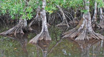 mangrove, Pelliciera, Panama