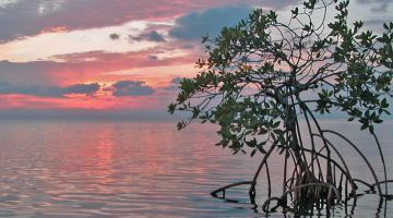 mangrove, Belize